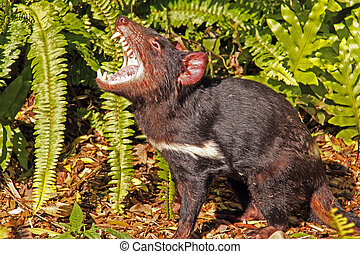 Tasmanian Devil growling. Native Australian animal and is an endangered species. Sarcophilus harrisii