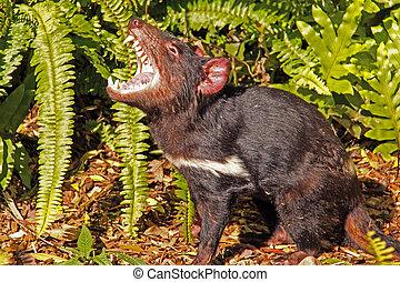 Tasmanian Devil growling. Native Australian animal and is an...