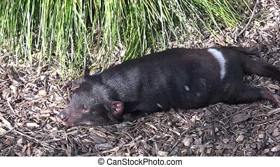 Tasmanian devil sleeps - Tasmanian devil sleep. Endangered...