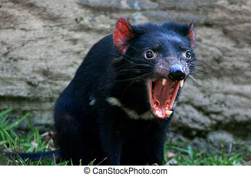Tasmanian devil - Tasmanian Devil (Sarcophilus harrisii)...