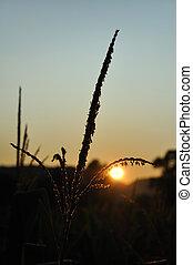 tassel, silueta, milho, backlit, durante, amanhecer