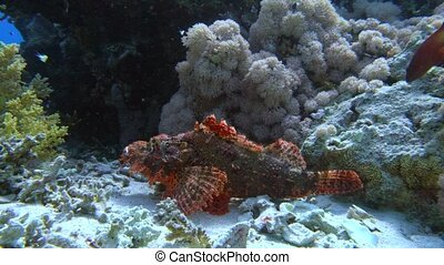 Tassled scorpionfish Scorpaenopsis oxycephala lies at the...