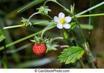 Tasty wild strawberries
