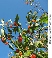 tatarian, caprifoliaceae, (lonicera, tatarica), chèvrefeuille, baies