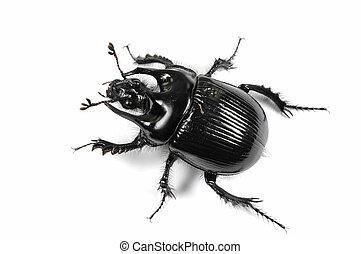 Taurus beetle isolated on white background