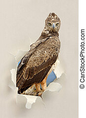 Tawny eagle (Aquila rapax) looking through a hole torn the...