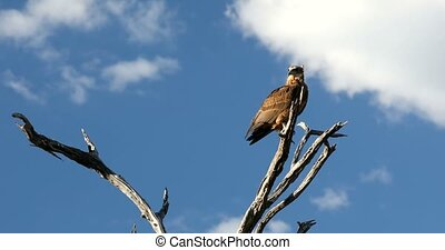 tawny eagle Botswana Africa safari wildlife - tawny eagle (...