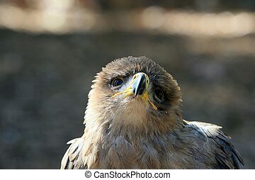 Tawny Eagle - A Tawny Eagle that seems to be begging me to...