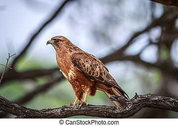 Tawny eagle sitting in a tree.