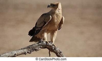 Tawny eagle - A tawny eagle (Aquila rapax) perched on a...