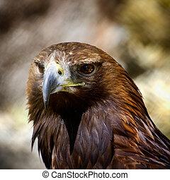 Tawny Eagle - Photo of the Tawny Eagle (Aquila rapax)