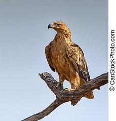 Tawny eagle - Tawny Eagle perched on a tree branch - Aquila ...