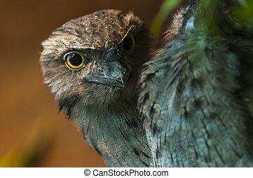Tawny Frogmouth - Podargus strigoides - Tawny Frogmouth also...
