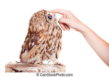 Tawny or Brown Owl isolated on white - Tawny or Brown Owl,...