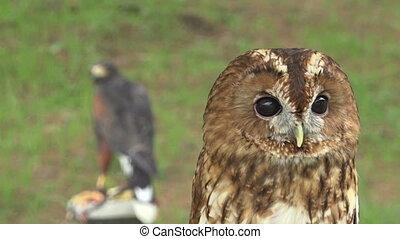 Tawny owl shaking head, wildlife predator bird - Close up of...