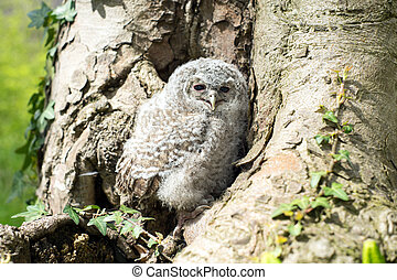 Tawny Owl in front of a tree