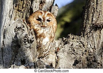 Tawny owl, Strix aluco, Single bird outside of hole in tree,
