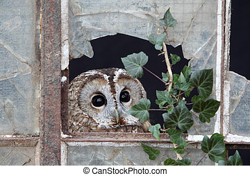 Tawny owl, Strix aluco, single bird in old iron and glass ...
