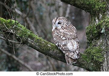 Tawny owl, Strix aluco, single bird on branch, captive bird...