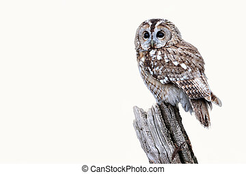 Tawny owl, Strix aluco, single bird on stump, captive bird...