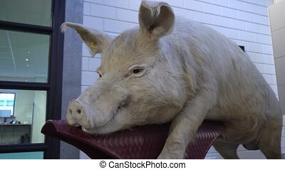 Taxidermy of Pig - Taxidermy of pig in side