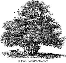 taxus, ダービーシャー, 教会, イチイ属, ∥あるいは∥, darley, 木, baccata, 型, helens, 彫版, イギリス\, st. 。