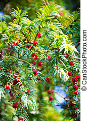 taxus baccata,  european yew tree