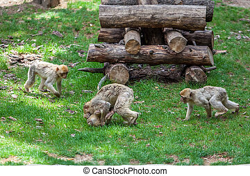 tbilisi, groep, aapjes, dierentuin