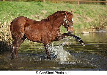 tchèque, eau, poulain, sport, poney