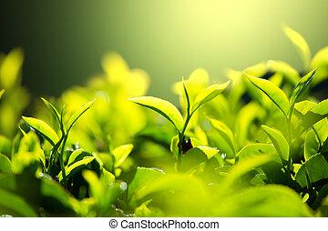 te plantering