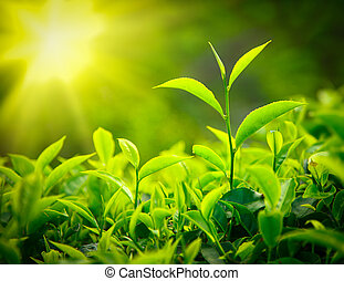 Tea bud and leaves. Tea plantations, Kerala, India