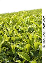 Tea bush and leaves in Sri Lanka