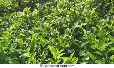 Tea Bushes Fluttering in a Gentle Breeze in Sri Lanka -...