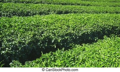 Tea bushes, growing in neat and orderly rows in Chiang Mai. ...