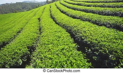 Tea bushes, growing in rows, on typical plantation near ...