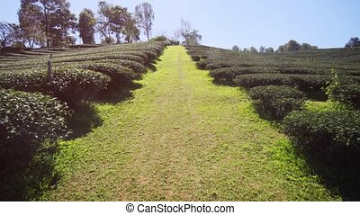 Tea bushes in neat, organized rows at this plantation in ...
