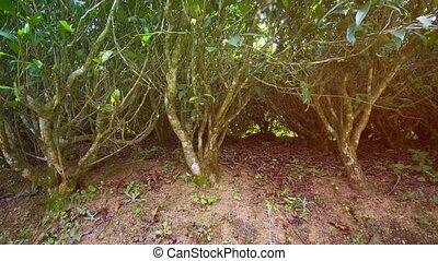 Tea bushes on the plantation. Nuwara Eliya, Sri Lanka