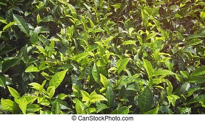 Tea Bushes, planted densely on a Sri Lankan Plantation -...