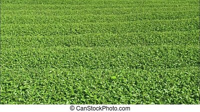 Tea Farm in Chiang Mai, Thailand - Neat and orderly rows of ...