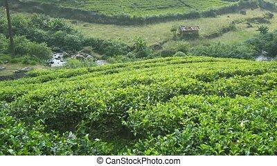 Tea Farm on Sri Lankan Hillside, Overlooking Natural River -...