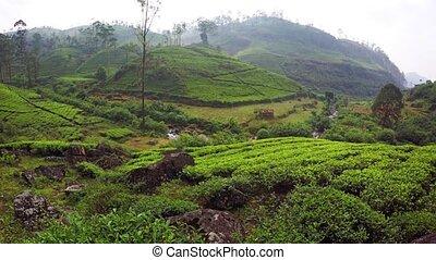 Tea Farmed on a Hillside in Nuwara Eliya, Sri Lanka. -...