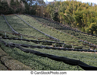 Tea Field And Bamboo