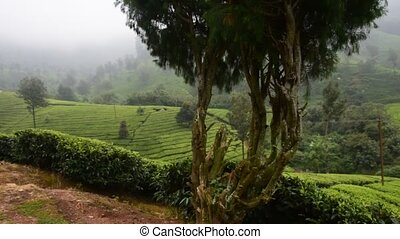 Tea Garden, India - Tea gardens in South Indian state Kerala