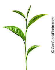tea green leaves isolated on white