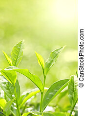Tea Leaf with Plantation in the Background (Morning)