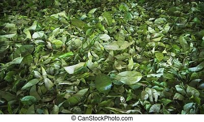 Tea Leaves Drying at a Processing Plant in Sri Lanka -...
