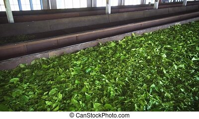 Tea Leaves Drying in a Sri Lankan Factory. 1080p footage -...