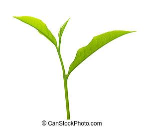 Tea leaves - Close up tea leaves on white background