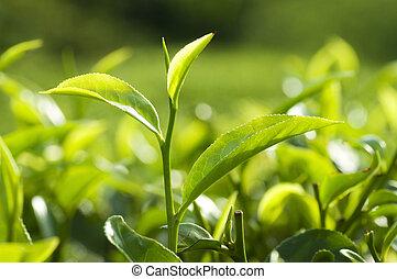 Tea Leaves - Tea Plantations at Cameron Highlands Malaysia.