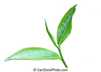 The three leaves at the tip of the stem which are picked for tea